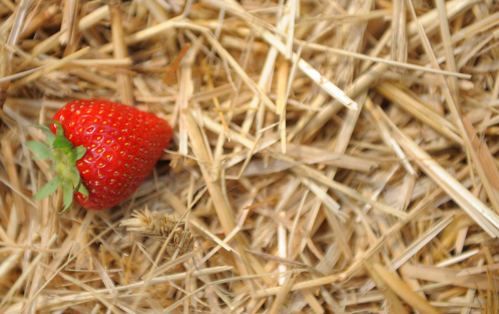 Tenne Castrop Erdbeeren