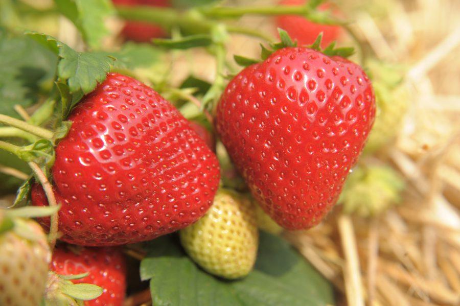 Unsere leckeren Erdbeeren sind da!!!